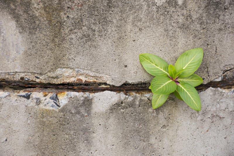 Planta verde que brilla intensamente en el muro de cemento foto de archivo