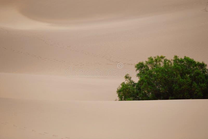 Planta verde sola en el desierto fotografía de archivo