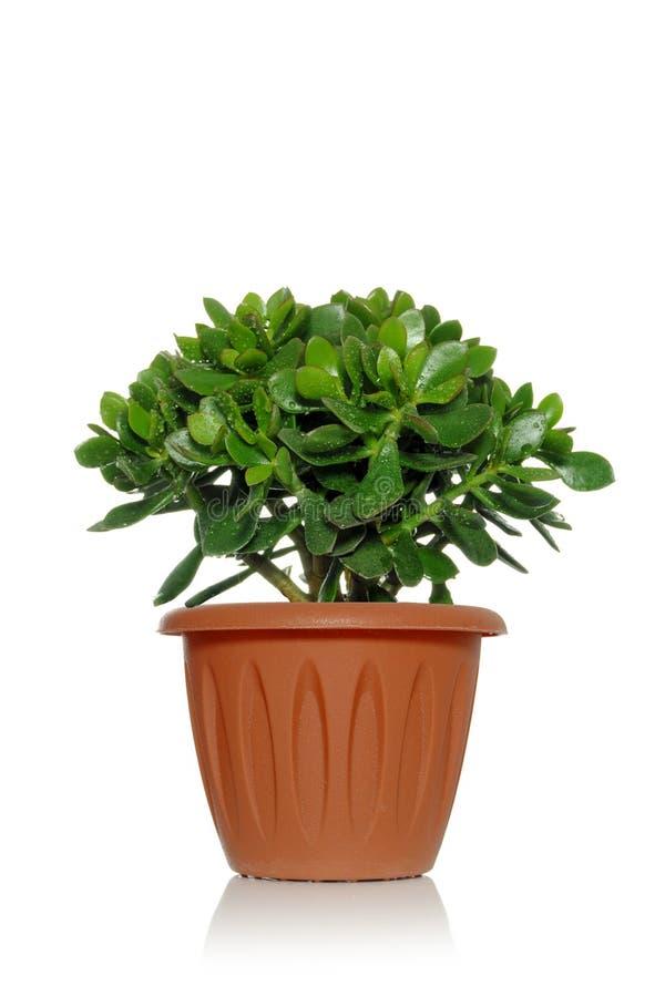 Planta verde suculenta del Crassula en un pote cubierto con descensos del agua foto de archivo