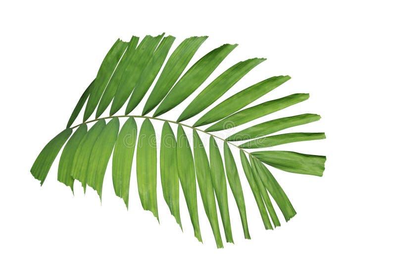 Planta verde tropical de la palma de la hoja aislada en el fondo blanco, trayectoria imagenes de archivo