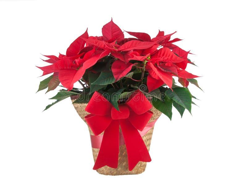Planta vermelha do Natal da poinsétia isolada no fundo branco fotos de stock royalty free