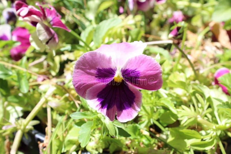 Planta violeta fotos de stock royalty free