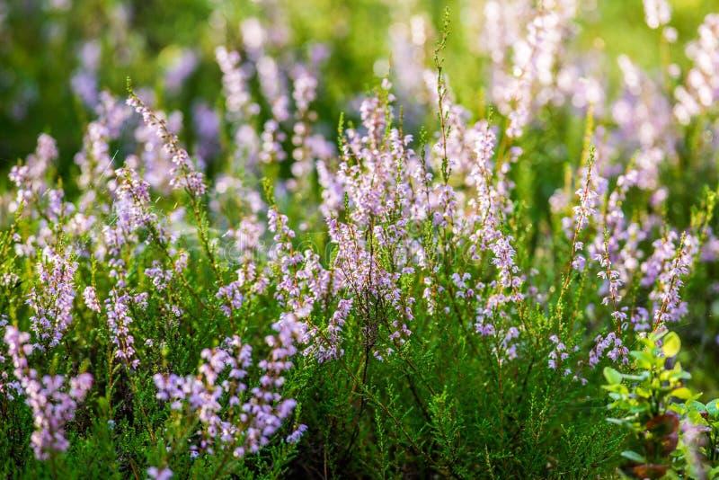 Planta violeta en prado salvaje imagenes de archivo