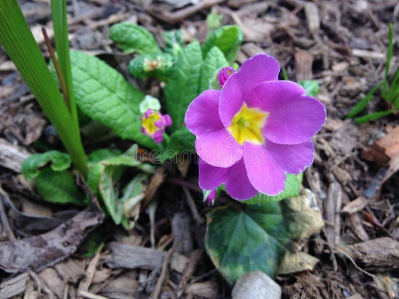 Planta vulgar da prímula cor-de-rosa (prímula) que floresce na mola no jardim fotografia de stock royalty free
