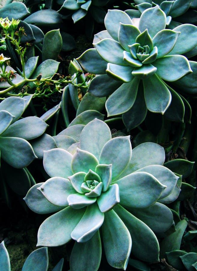 Planta y flores suculentas verdes imagen de archivo