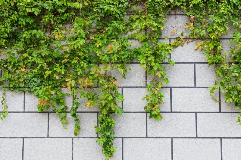 Planta y pared de ladrillo verdes de la hiedra foto de archivo libre de regalías