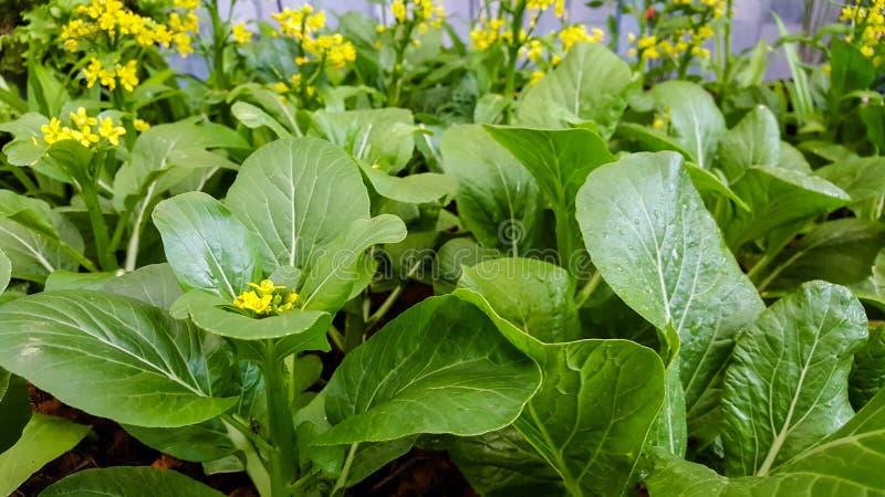 Plantaardige dichte omhooggaand van de Choysom met versheid in de tuinochtend stock foto