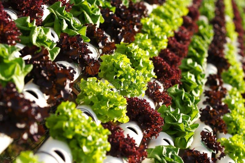 Plantaardige hydrocultuur   royalty-vrije stock afbeelding