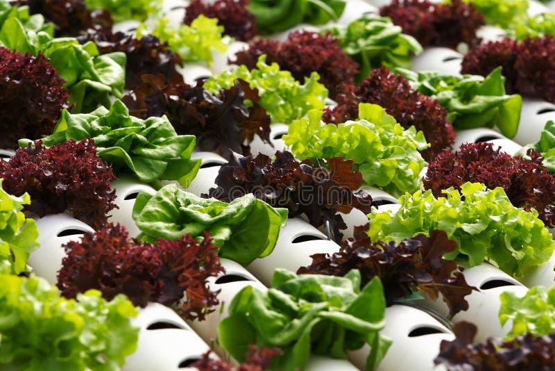 Plantaardige hydrocultuur royalty-vrije stock foto's