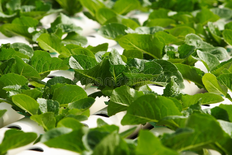 Plantaardige hydrocultuur royalty-vrije stock foto