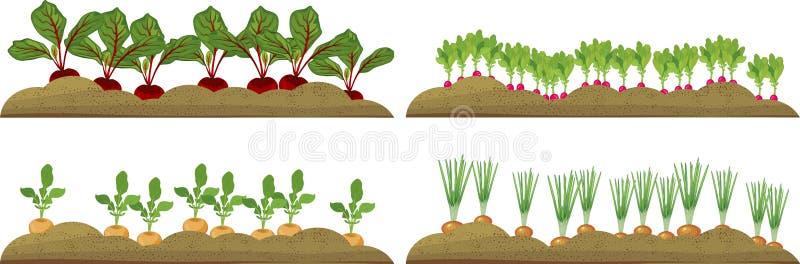 Plantaardige percelen met verschillende wortelgewassen royalty-vrije illustratie