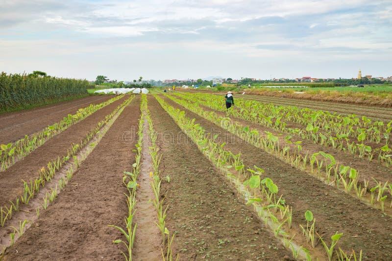 Plantaardige percelen op landbouwgebied in voorsteden van Hanoi, Vietnam royalty-vrije stock fotografie