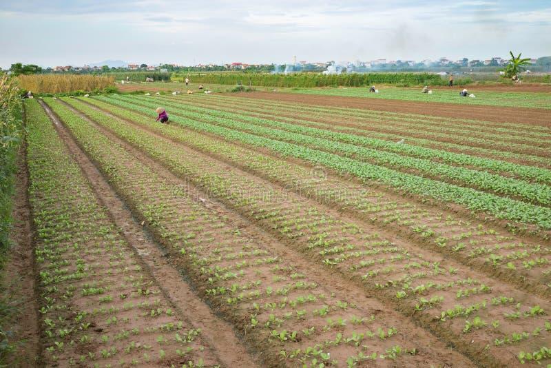 Plantaardige percelen op landbouwgebied in voorsteden van Hanoi, Vietnam stock afbeelding