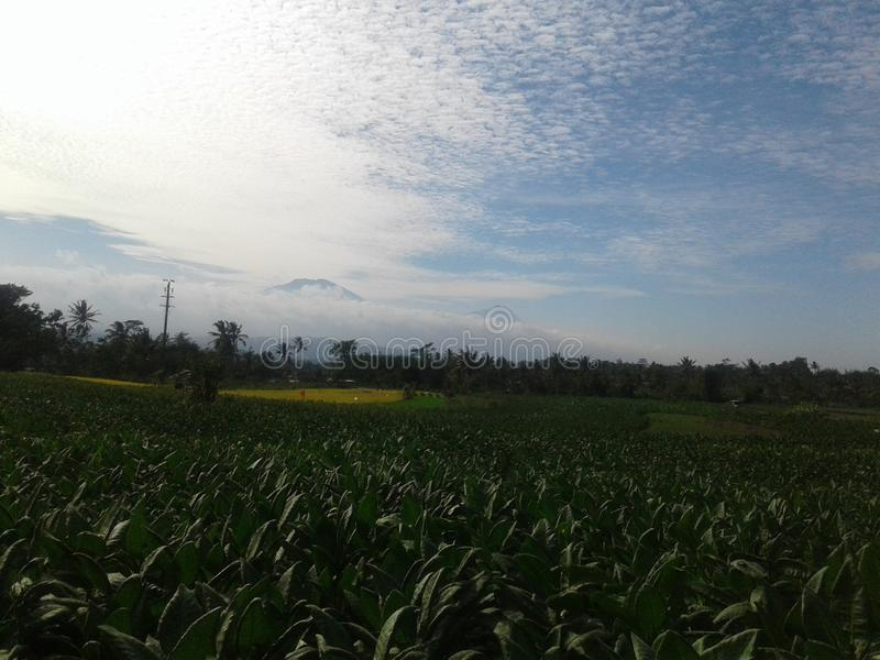 Plantaardige tabak centraljava indonesië royalty-vrije stock afbeelding