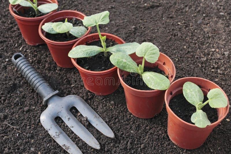 Plantaardige zaailingen in potten stock foto's