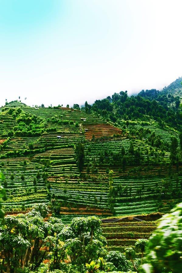 Plantación colgante verde del campo en la meseta Java, Indonesia de Dieng imagen de archivo libre de regalías