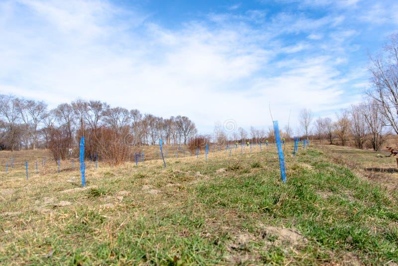 Plantación de árboles en una primavera imagen de archivo