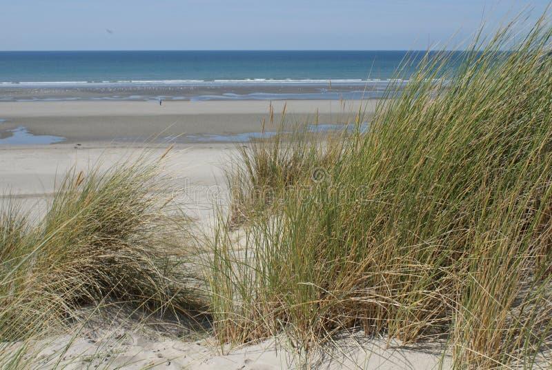 Plantación de avena en la duna frente a una hermosa playa foto de archivo