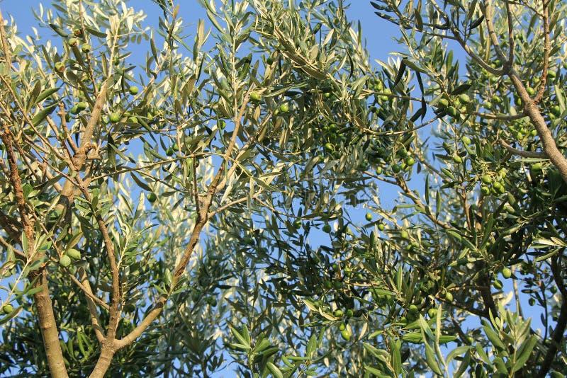 Plantación de branquias de olivos fotografía de archivo libre de regalías