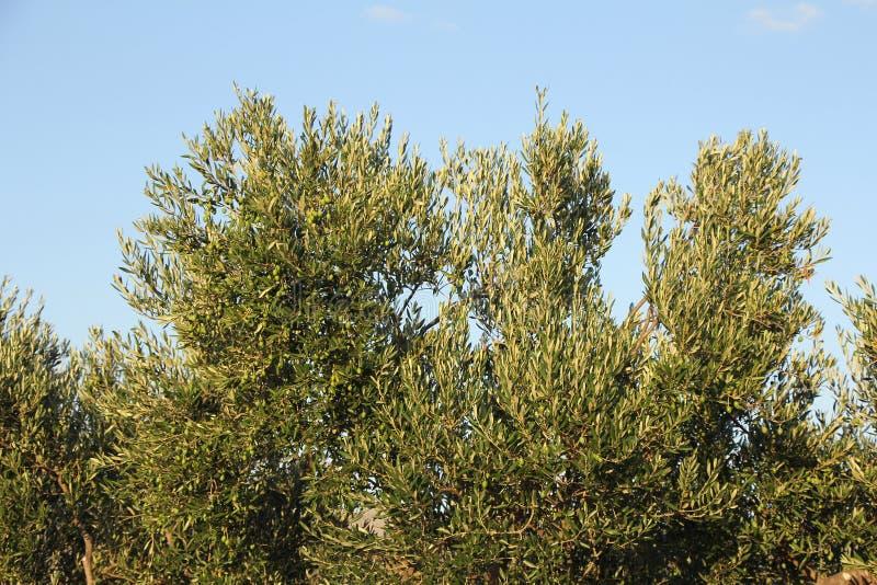 Plantación de branquias de olivos fotos de archivo