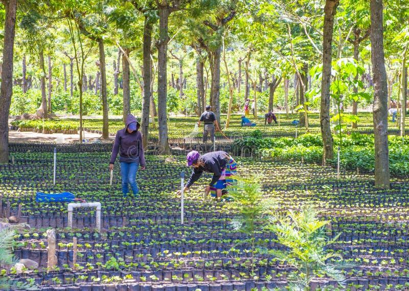 Plantación de café de Guatemala foto de archivo