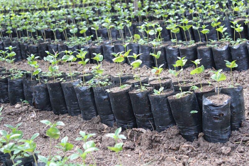 Plantación de café en la floración imagenes de archivo