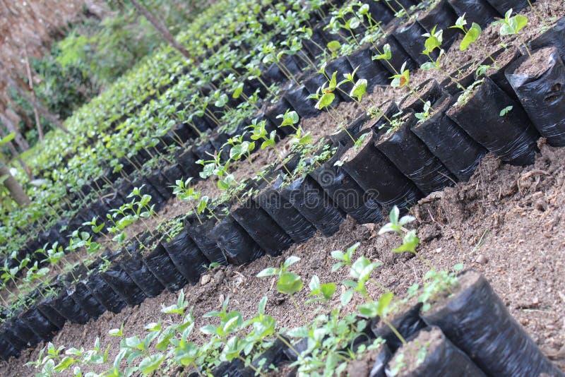 Plantación de café en la floración foto de archivo libre de regalías