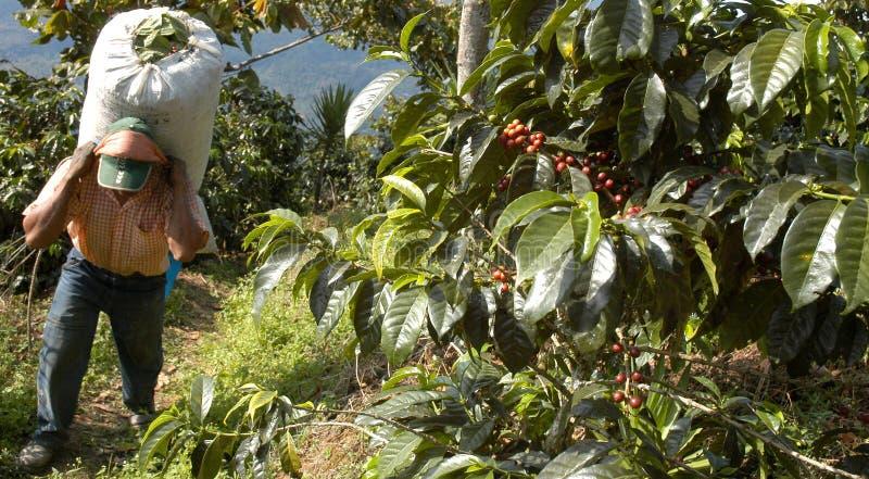 Plantación de café Guatemala imagenes de archivo