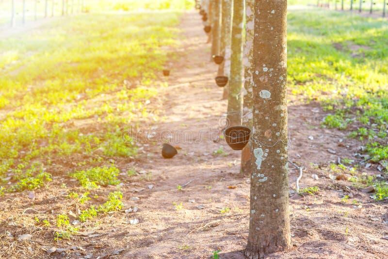 Plantación de goma con puesta del sol ligera en fondo imagenes de archivo
