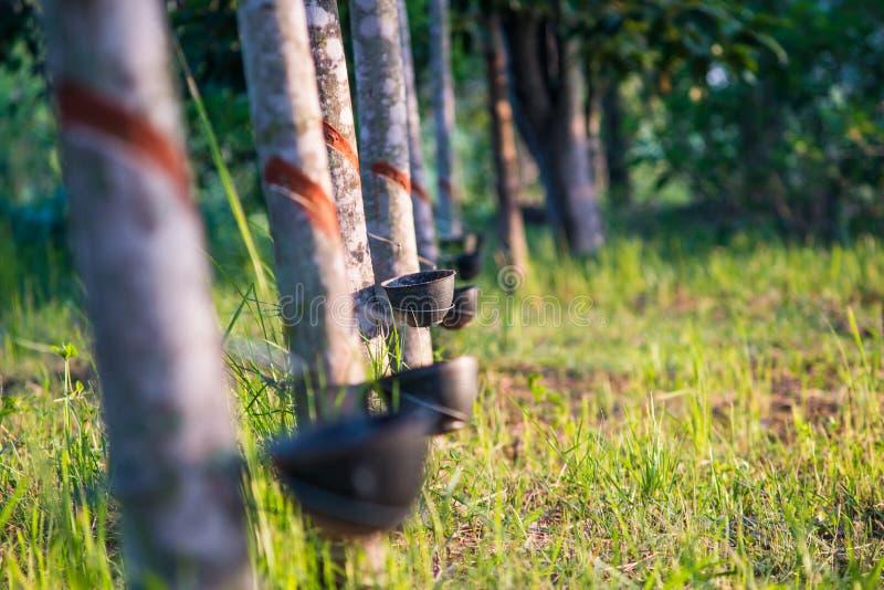 Plantación de goma con puesta del sol ligera en fondo fotos de archivo
