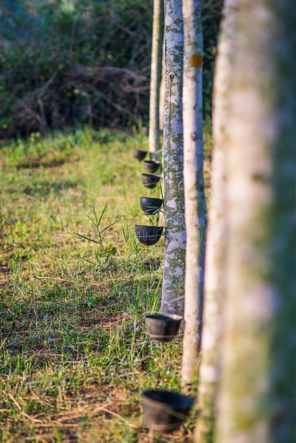 Plantación de goma con puesta del sol ligera en fondo imágenes de archivo libres de regalías