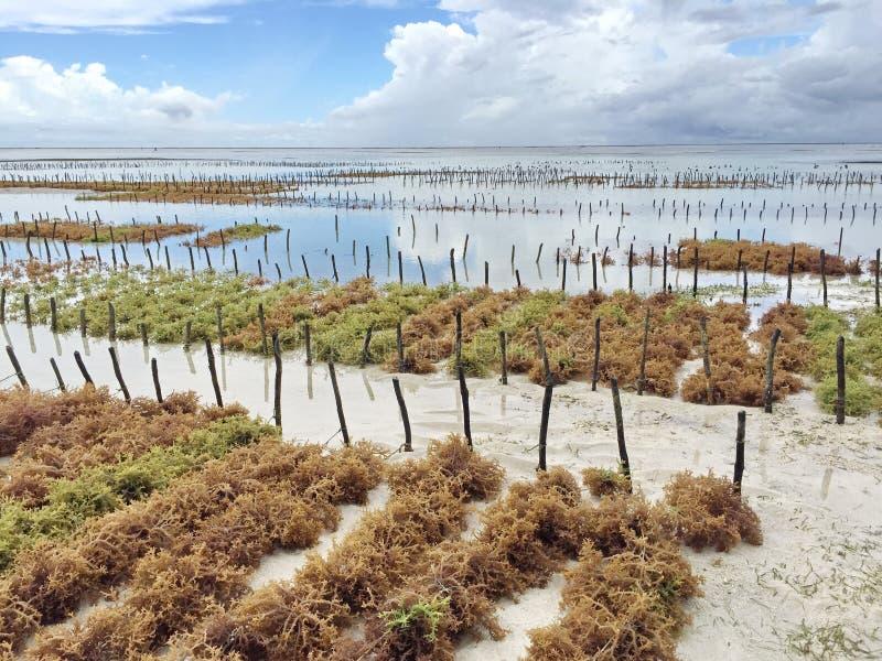 Plantación de la alga marina imagenes de archivo