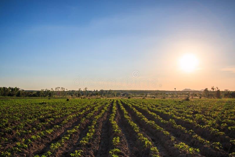 Plantación de la mandioca en la puesta del sol fotografía de archivo