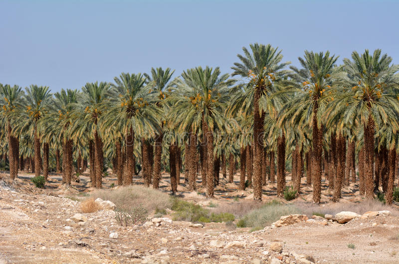 Plantación de la palma datilera - mar muerto, Israel imagen de archivo libre de regalías