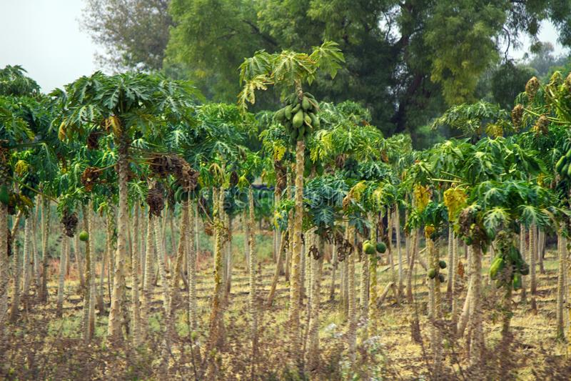 Plantación de la papaya en la India fotografía de archivo libre de regalías