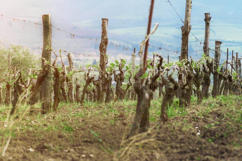 Plantación de la uva, arbustos jovenes de la uva, producción de vino en Italia imagen de archivo libre de regalías