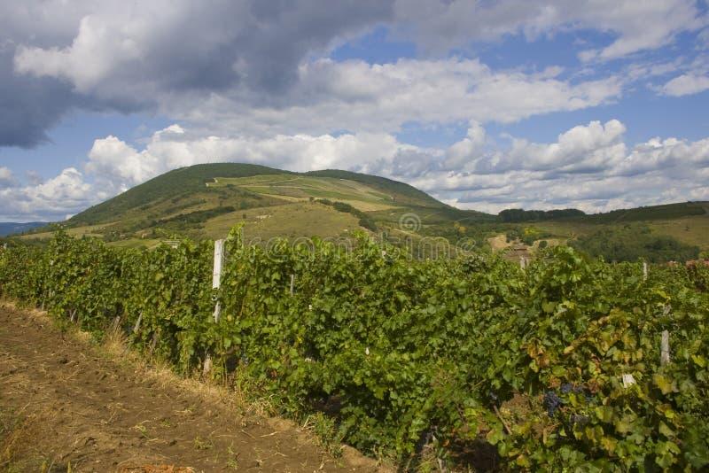 Plantación de la uva en Eger imágenes de archivo libres de regalías