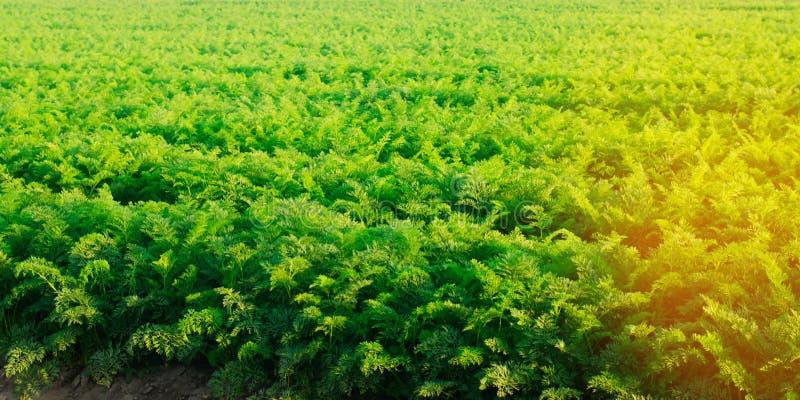 Plantación de la zanahoria en el campo Paisaje hermoso Agricultura farming fila vegetal Día asoleado agricultu respetuoso del med foto de archivo libre de regalías
