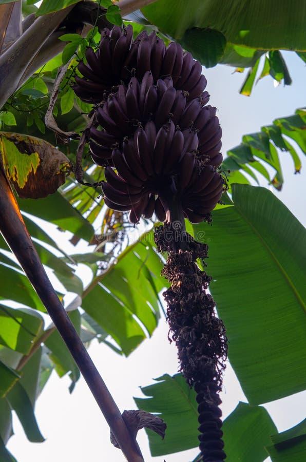 Plantación de las especias - plátanos rojos de Zanzíbar, Tanzania - febrero de 2019 foto de archivo libre de regalías