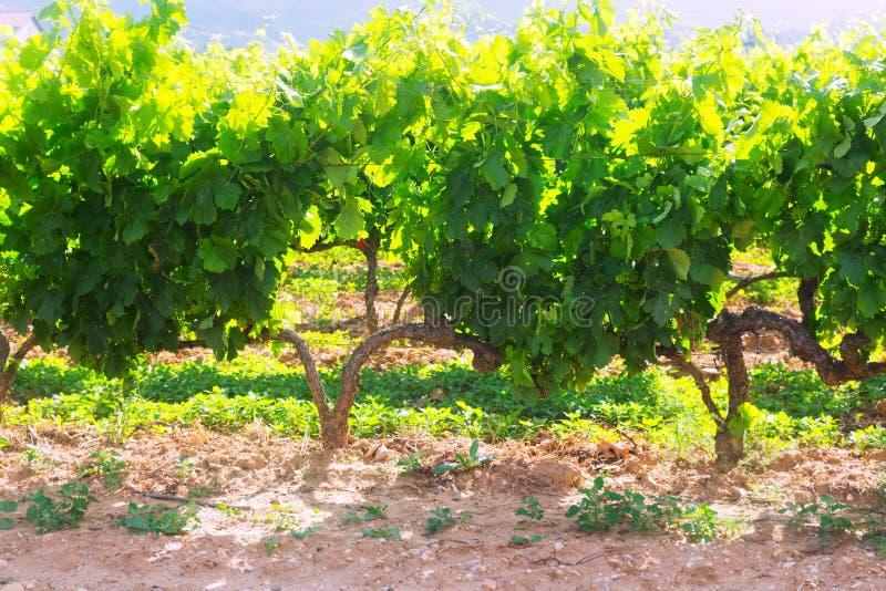 Download Plantación De Los Viñedos En Día De Verano Soleado Imagen de archivo - Imagen de ambiente, meseta: 42433625