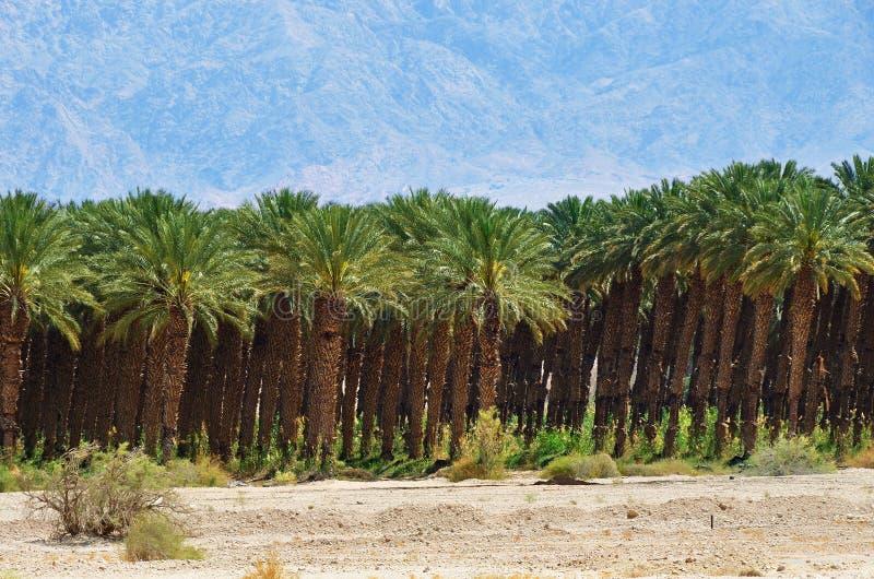 Plantación de palmeras, Israel foto de archivo