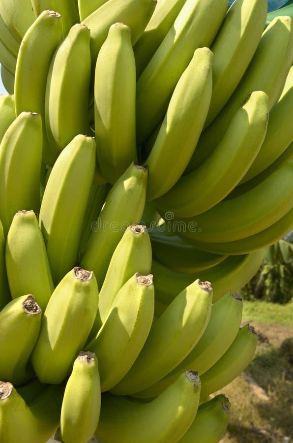 Plantación de plátano el Camerún foto de archivo