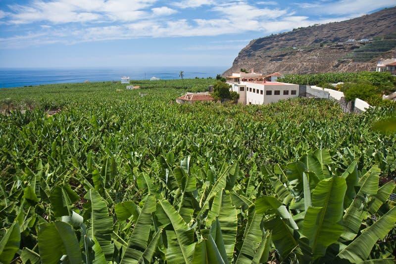 Plantación de plátano enorme en el La Palma fotografía de archivo