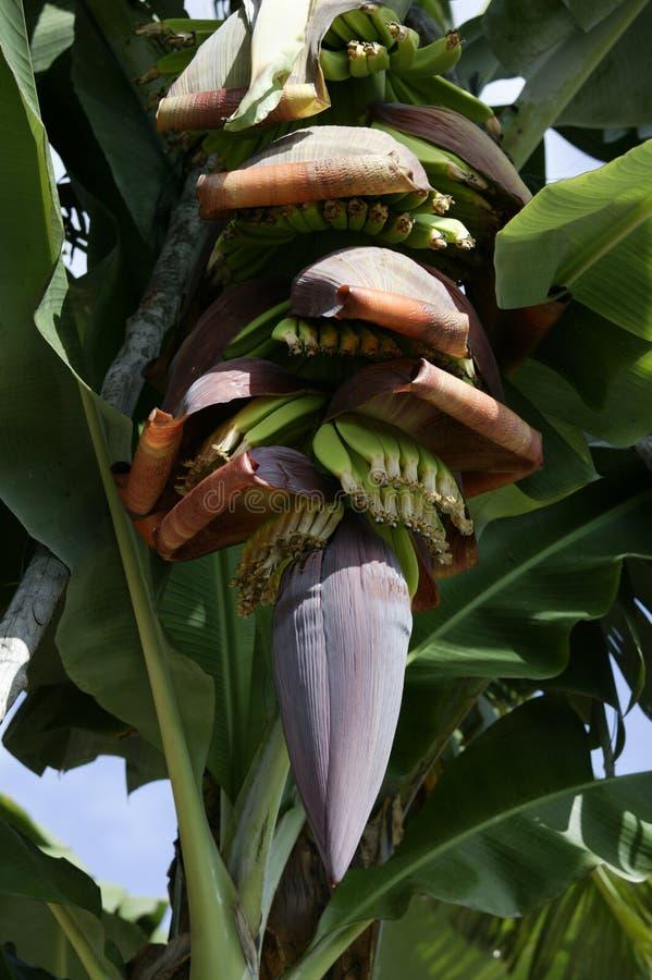 Plantación de plátano, La Palma, islas Canarias, España fotos de archivo
