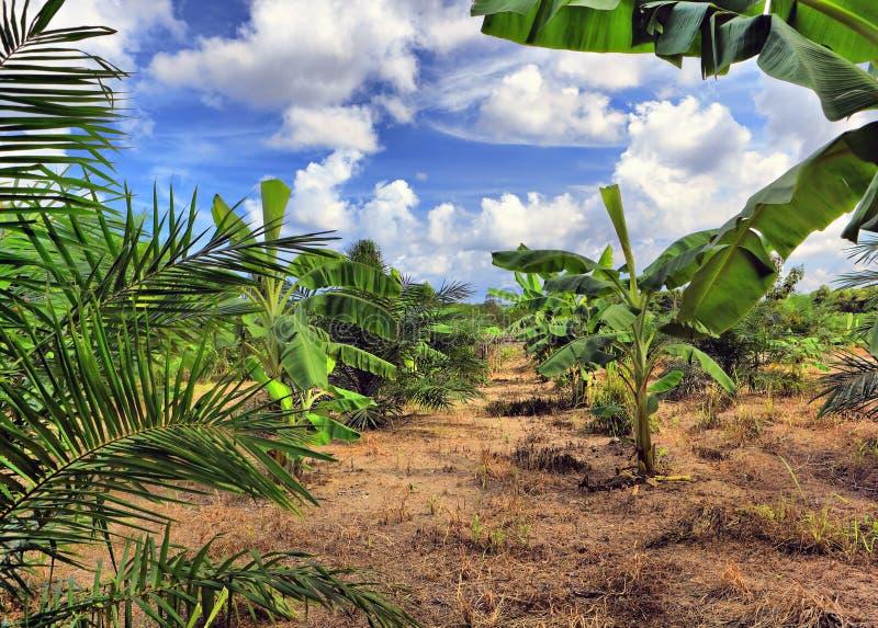 Plantación de plátano, Tailandia foto de archivo