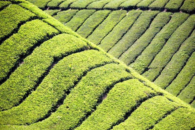 Download Plantación de té foto de archivo. Imagen de cubo, modelos - 1292212