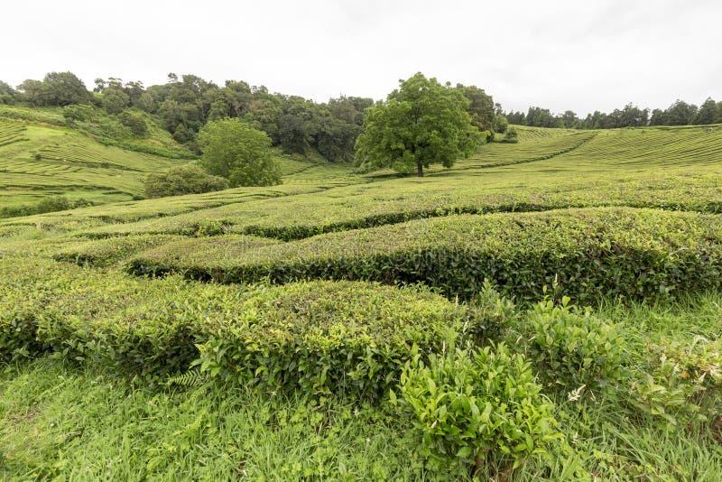 Plantación de té agradable fotografía de archivo libre de regalías