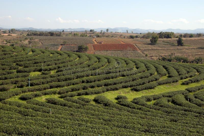 Plantación de té con la tierra despejada para plantar en fondo fotografía de archivo