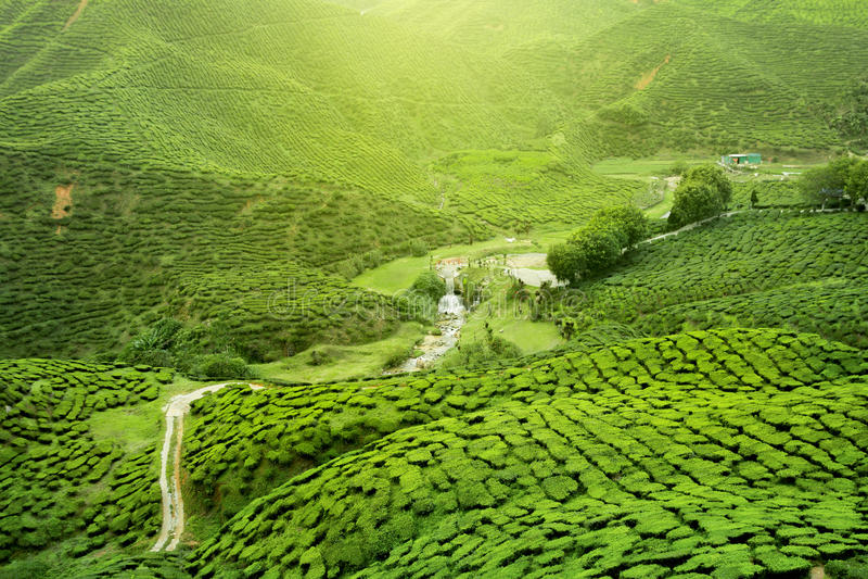 Plantación de té de Assam fotografía de archivo libre de regalías