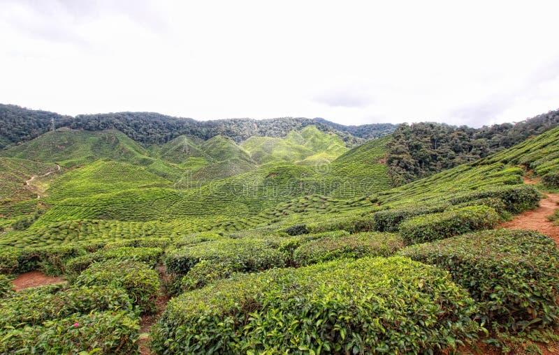 Plantación de té de Boh en Cameron Highlands Malaysia imagen de archivo libre de regalías